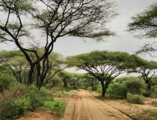 Lake Manyara acacia trees